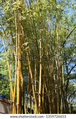 Beautiful bamboo tree glistening in the sun