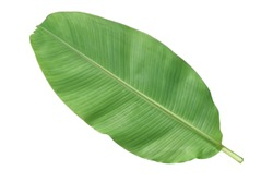 Beautiful banana leaves isolated on white background.