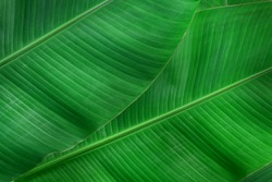 Beautiful banana leaves texture background.