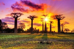 Beautiful Baobab trees at sunset at the avenue of the baobabs in Madagascar. HDR