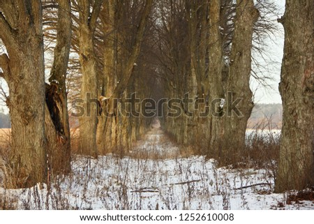 Beautiful bare trees alley way on a frosty winter day - woods copse, rest, natural recreation, rural landscape