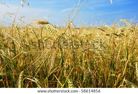Beautiful barley and oat field with cereal plant growing in all directions, chaos concept.