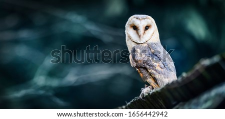 Beautiful barn owl eagle bird hide in natural rustic barns habitat. Owls wide banner or panorama photo. Photo stock ©