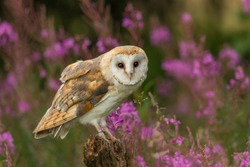 Beautiful barn owl in pink flowers.