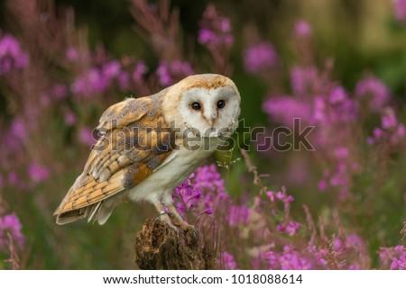 Beautiful barn owl in pink flowers.