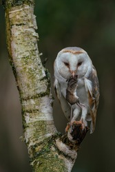 Beautiful Barn owl (Tyto alba) eating a mouse (prey) at dusk. dark background.  Noord Brabant in the Netherlands.