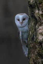 Beautiful Barn owl (Tyto alba) sitting on a tree trunk. Dark black background. Noord Brabant in the Netherlands. Looking in the camera. Night shot. Peek a boo owl. Hide and seek owl.
