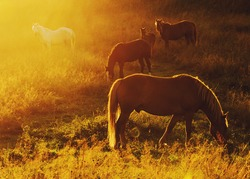 Beautiful bay horse herd grazes in the mountains at sunset, amazing hipster sunny natural background