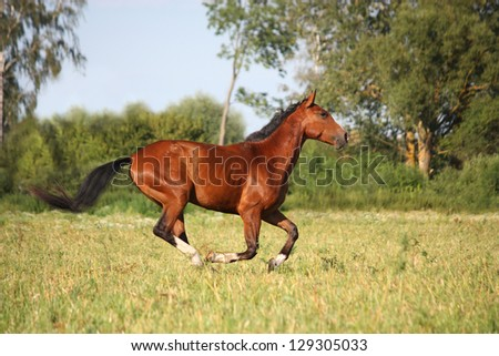 Beautiful bay horse running free at the field