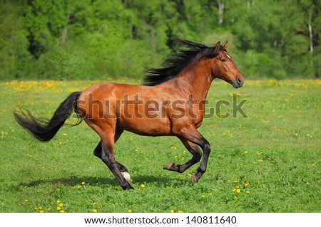Beautiful bay horse running on the field
