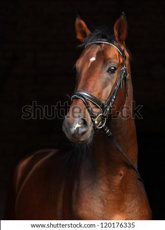 Beautiful bay horse standing in the stable door