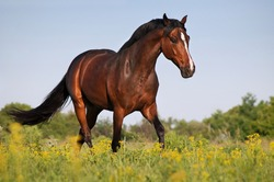 Beautiful bay stallion galloping across the field on forest background