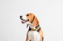 Beautiful Beagle dog on white background.