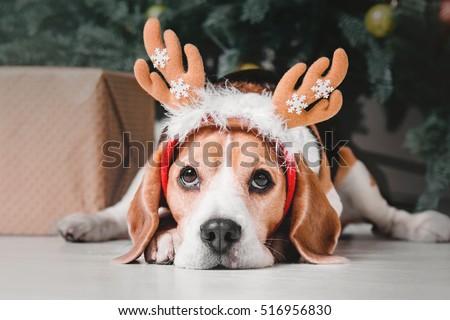 Beautiful beagle dog posing as a reindeer sits near a Christmas tree