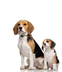 Beautiful beagle family isolated on white