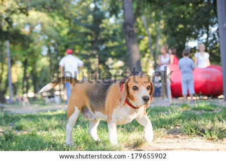 beautiful beagle puppy dog in park with hound position paws up