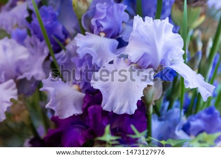 Beautiful bearded irises in the bouquet. Flower arrangement of blue and purple irises. Irises close up.