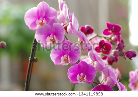 Beautiful beautiful butterfly orchid, is a very romantic flowers.