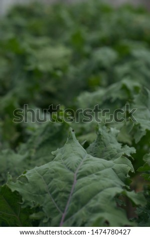 Beautiful bed of Red Russian Kale grows in greenhouse on organic farm #1474780427