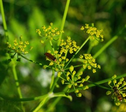 Beautiful beetle on yellow-green flower of a plant, natural background
