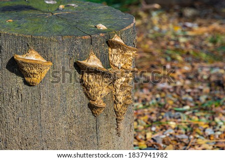 Beautiful beige porous tree fungus Daedalea quercina, commonly known as oak mazegill or maze-gill fungus on gray stump. Blurred background. Selective focus. Concept of idiots for design. Stockfoto ©