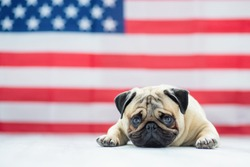 Beautiful beige puppy pug on the background of the American flag on Independence Day.