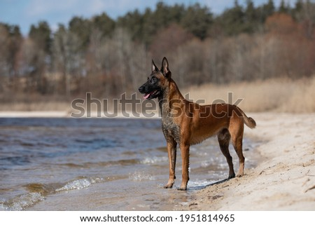 Beautiful Belgian Shepherd dog breed in the sand Foto stock ©