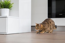Beautiful Bengal cat hunting in the house and playing by the kitchen.