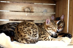 Beautiful bengal cats happily resting and sleeping in cat bed, background