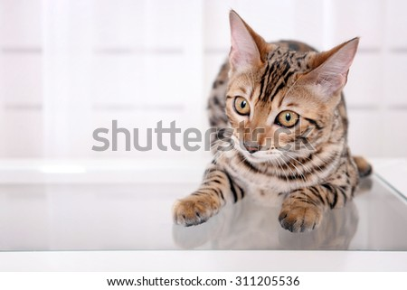 Beautiful Bengal kitten on small table at home