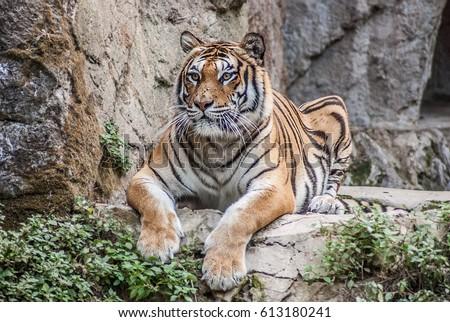 beautiful Bengal tiger, queen tiger