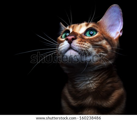 Beautiful bengalensis cat ifs isolated on a black background.