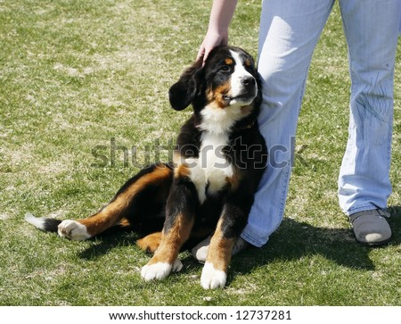 beautiful bernese mountain dog puppy leaning next to owner's legs