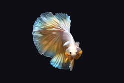 Beautiful betta fish or fighting fish moving moment of colourful half moon tail isolated on black background