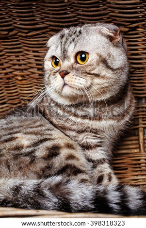 Beautiful bicolor stripes cat with yellow eyes Scottish Fold Sits in a wooden basket #398318323
