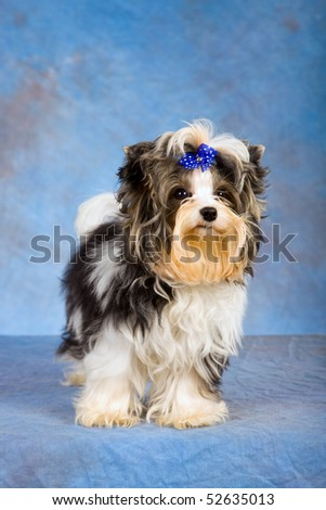Beautiful Biewer puppy on blue mottled background fabric