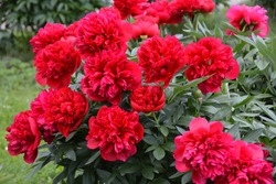 Beautiful big blooming red peony flowers in spring
