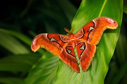 Beautiful big butterfly, Giant Atlas Moth-aka, Attacus atlas in green forest habitat, India. Wildlife from Asia. Big butterfly sitting on the green leave in jungle. Nice moth in dark vegetation.