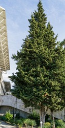 Beautiful big  Cupressus sempervirens (Mediterranean cypress) next to Festival Concert Hall in Sochi. Old Italian cypress or pencil pine grows on Black Sea embankment.