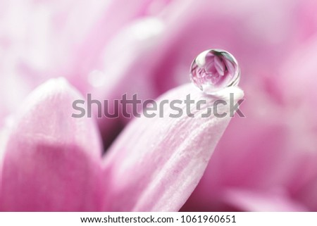 Beautiful big drop of water on a petal of a pink chrysanthemum flower with summer spring reflection close-up macro nature. #1061960651