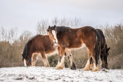 Beautiful big group of brown Irish Gypsy cob horses foals standing wild in snow on ground towards camera in cold deep snowy winter wild field at sunset stood like shire horse visible breath outdoor