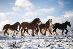 Beautiful big group of Irish Gypsy cob horses foals running wild in snow on ground towards camera through cold deep snowy winter field at sunset galloping shire horse leading big blue sky