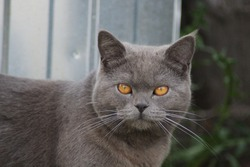 Beautiful big majestic grey cat. A thoroughbred Brit.