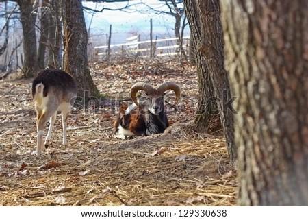 beautiful big moufflon ram laid down among the trees