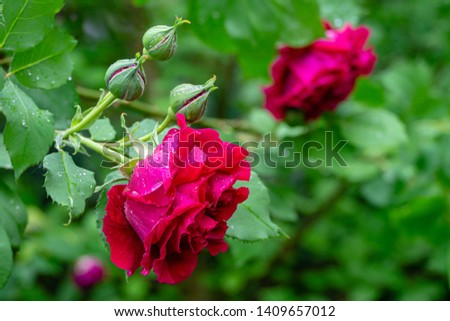 Beautiful big red purple roses with raindrops or morning dew on dark green bokeh background. Rose with many amazing petals. Selective focus. There is a place for tex