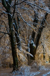 Beautiful big snow-covered trees in winter night illuminated Ivan Franko park (Lviv city center, Ukraine).