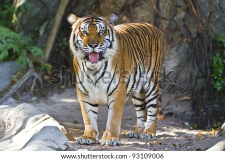 beautiful big tiger in a zoo