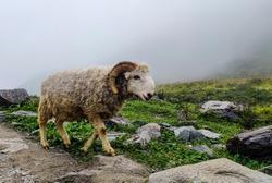 Beautiful Bighorn sheep On the top of the mountain.Mountain sheep.