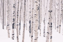 Beautiful birch park in winter in frost covered with snow all
