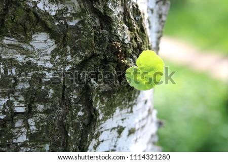 Beautiful birch tree with white birch bark in birch grove with green birch leaf in early summer